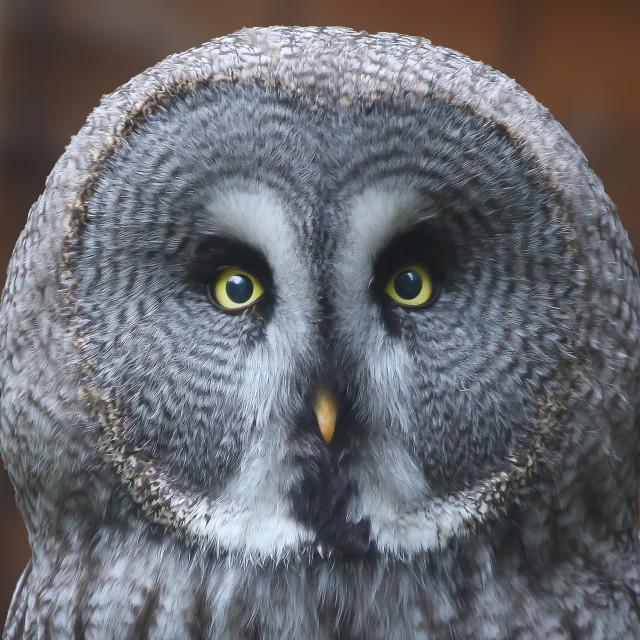 """Great Grey Owl"" stock image"