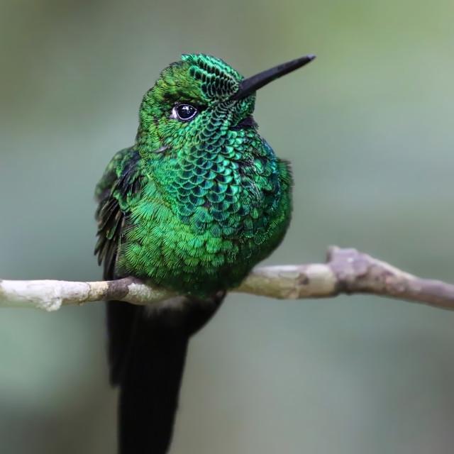 """Green Hermit Hummingbird"" stock image"