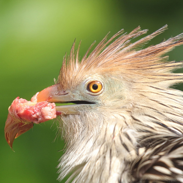 """Guira Cuckoo with food"" stock image"
