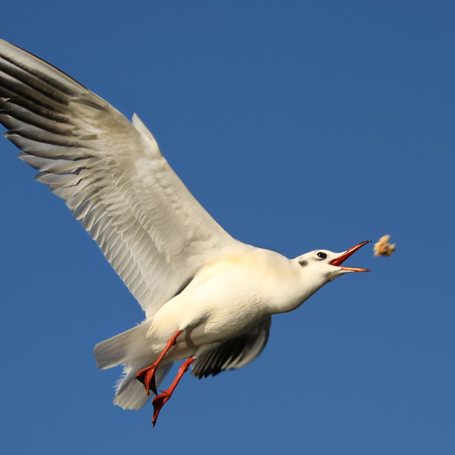 """""""Gull catching food in mid air"""" stock image"""