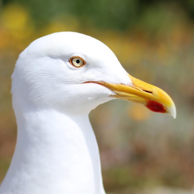 """Seagull portrait"" stock image"