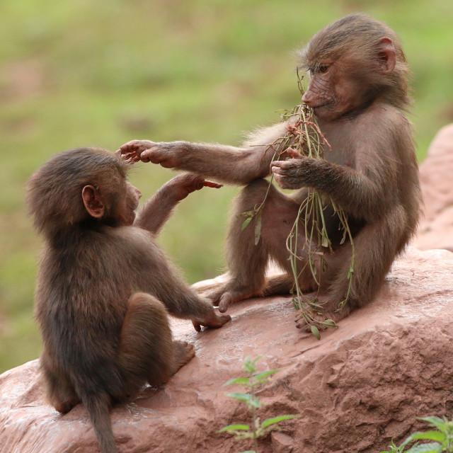 """""""Hamadryas Baboons"""" stock image"""