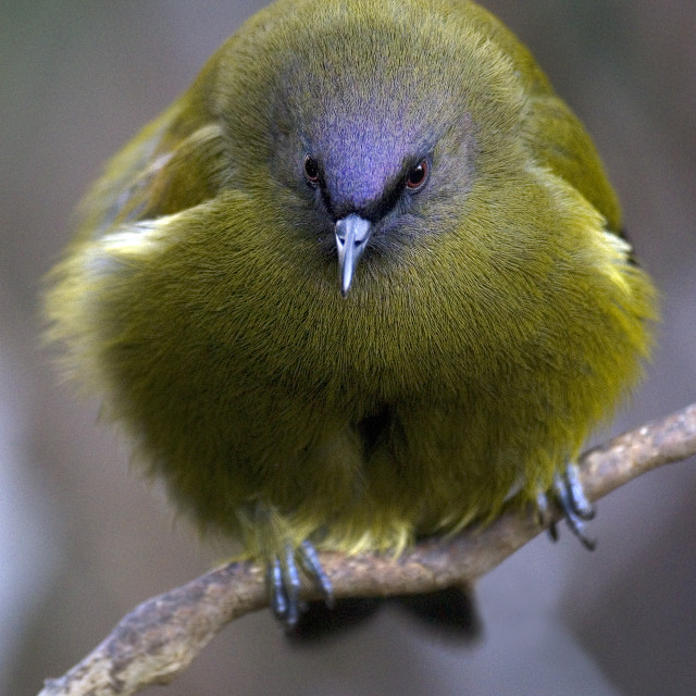 """New Zealand Bellbird"" stock image"