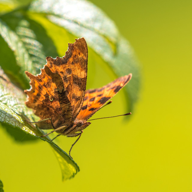 """""""Close up of a Comma Butterfly Resting"""" stock image"""