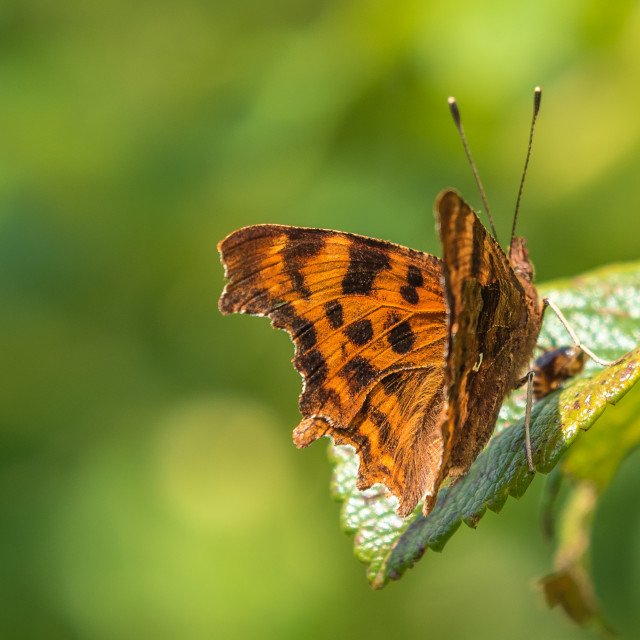"""""""Comma Butterfly"""" stock image"""