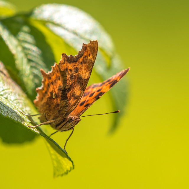 """""""Comma Butterfly resting"""" stock image"""