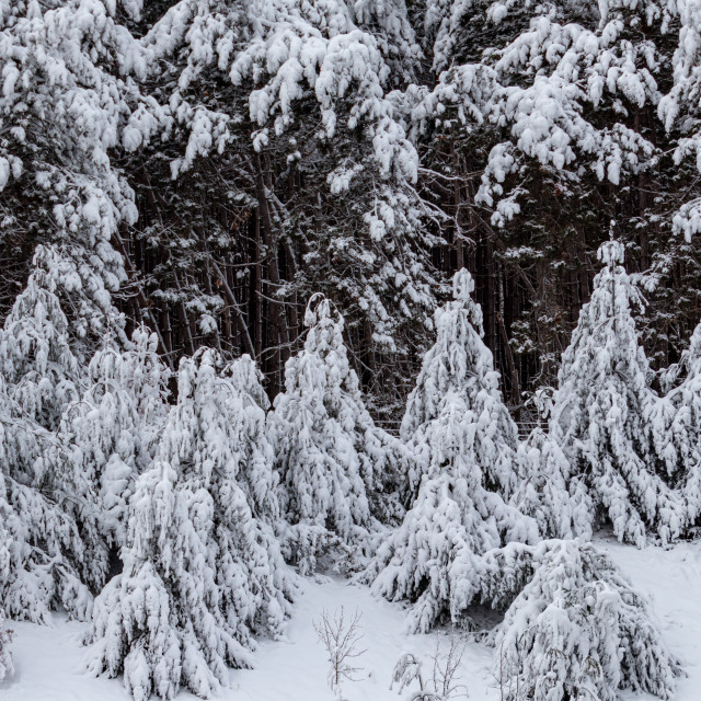"""""""Evergreen Trees Covered in Thick Heavy Snow"""" stock image"""