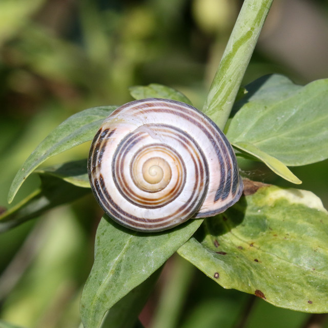"""""""Brown-lipped Snail"""" stock image"""