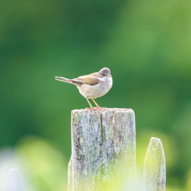 """""""Common Whitethroat (Sylvia communis) male on a fence post, taken in London"""" stock image"""