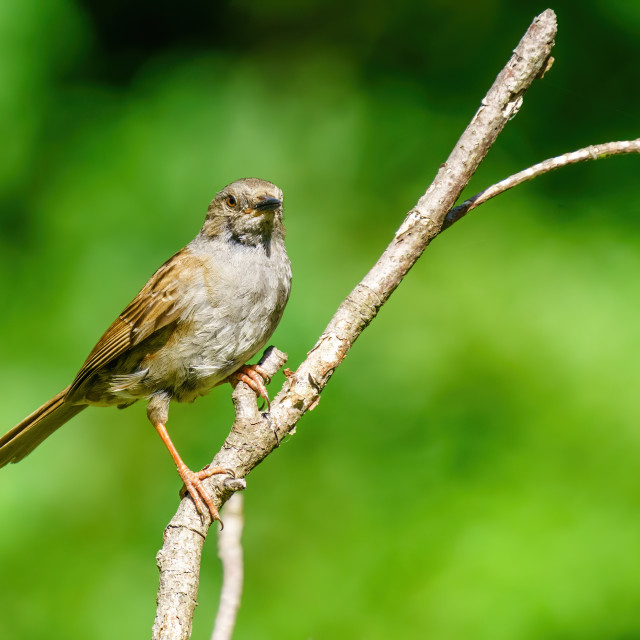 """""""Handsome Dunnock (Prunella modularis) on a sunny summer day in London, England"""" stock image"""