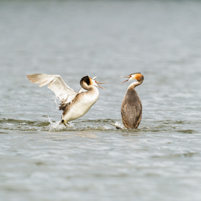 """Great Crested Grebe (Podiceps cristatus) about to attach a rival, taken in..."" stock image"
