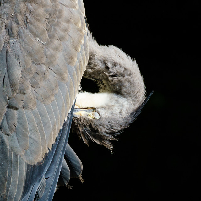 """Grey Heron (Ardea cinerea) preening itself, against a black background, taken..."" stock image"
