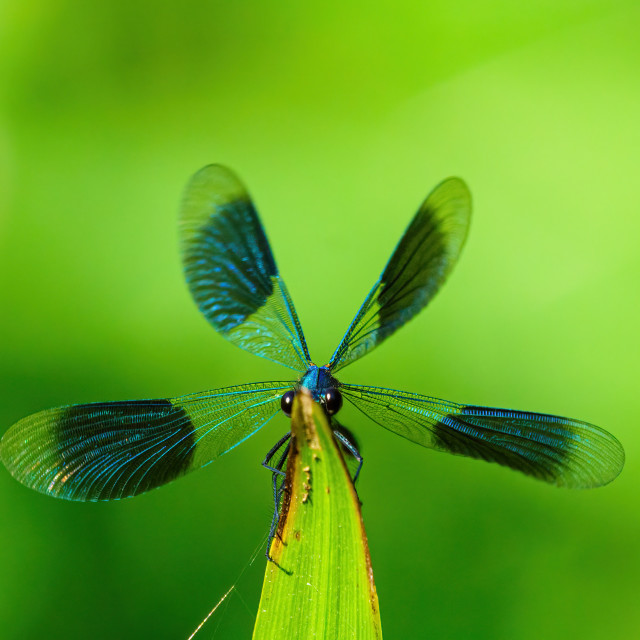 """Banded Demoiselle (Calopteryx splendens) with it's wings spread, seemingly..."" stock image"