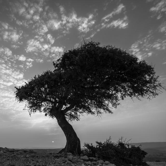 """Wind shaped tree B&W"" stock image"