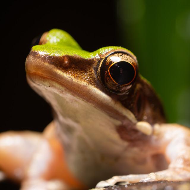 """Green Cascade Frog"" stock image"