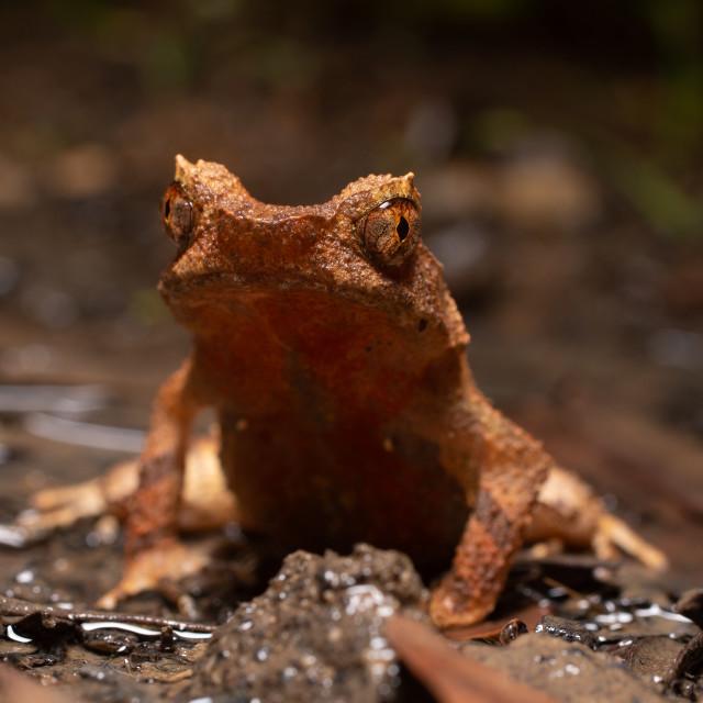"""Short-legged toad"" stock image"
