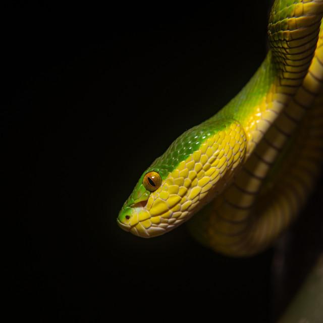 """White-lipped pit viper"" stock image"