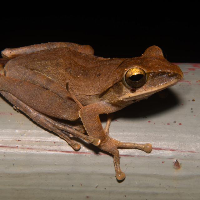 """""""Hong Kong whipping frog"""" stock image"""