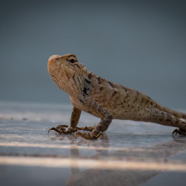 """Garden lizard"" stock image"