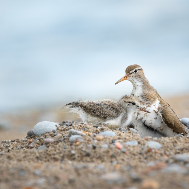 """""""Spotted Sandpiper Chick With Mom"""" stock image"""