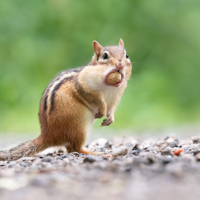 """""""Eastern Chipmunk With Peanut Stuffed in Cheek Pouches"""" stock image"""