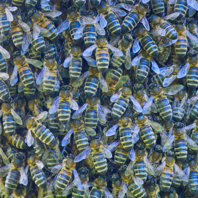 """""""A Swarm of Honey Bees"""" stock image"""
