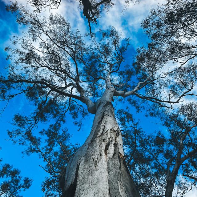 """Majestic Trees"" stock image"