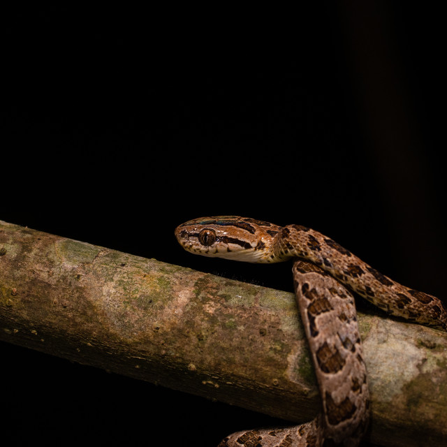 """""""Large-spotted cat snake"""" stock image"""