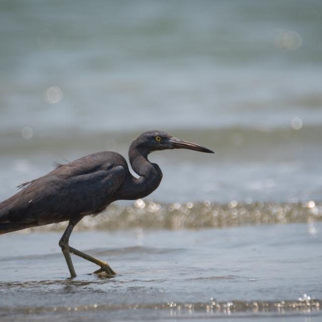 """Pacific reef heron"" stock image"