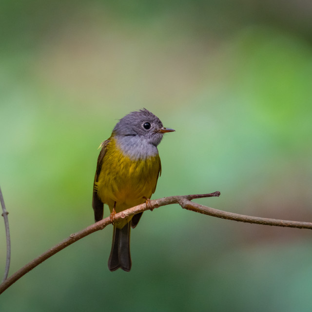 """Grey-headed Canary Flycatcher"" stock image"