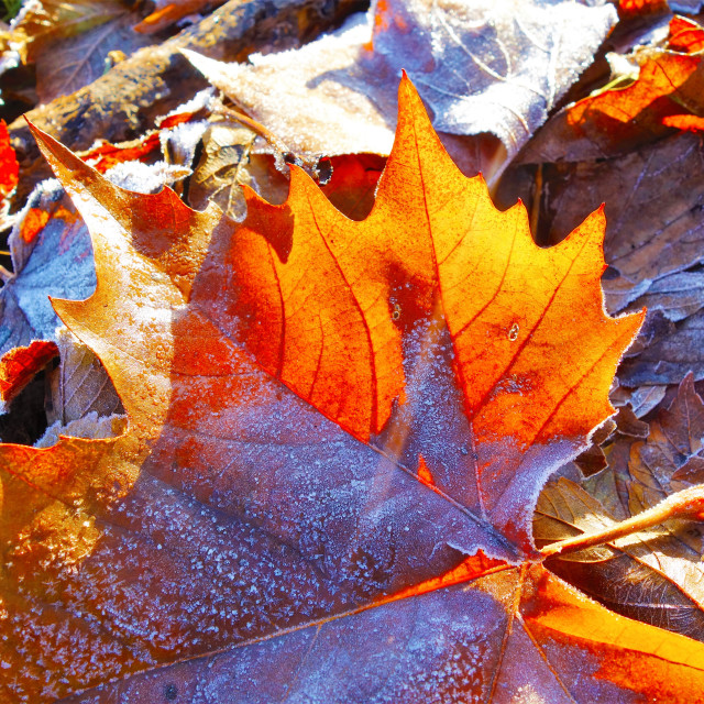 """Frosty Leaf."" stock image"