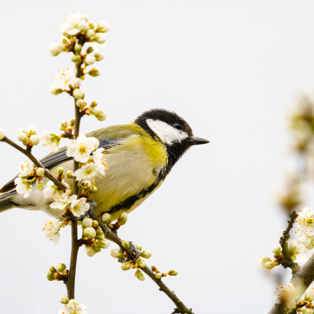 """""""Great Tit (Parus major) perched in a tree in spring blossoms, taken in London"""" stock image"""