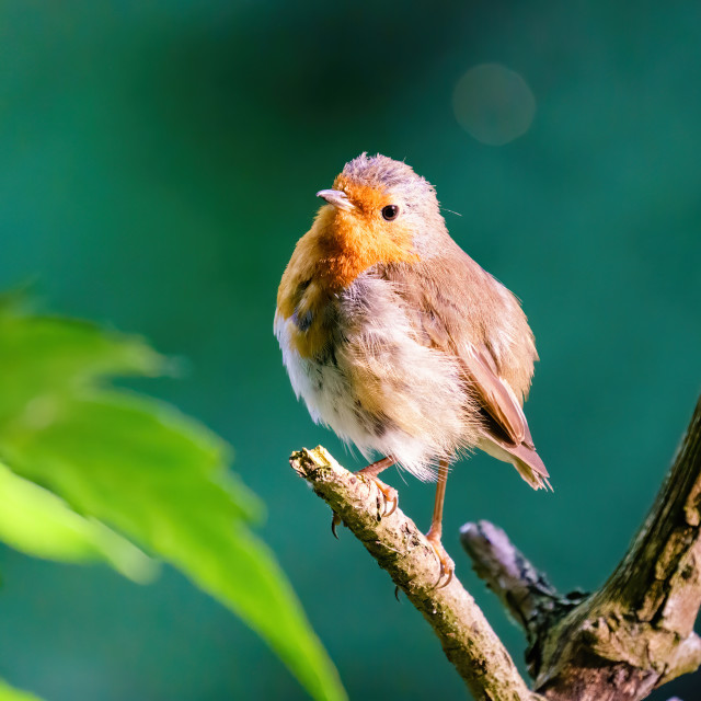 """""""European Robin (Erithacus rubecula) in early morning light looking back..."""" stock image"""