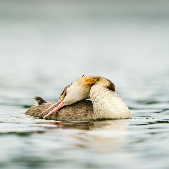 """Great Crested Grebe (Podiceps cristatus) with it's head folded back to clean..."" stock image"