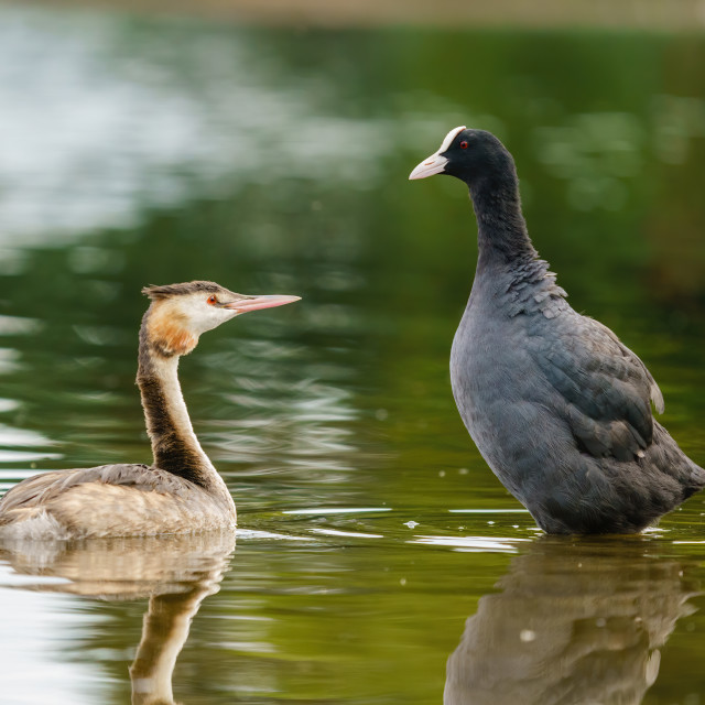 """Great Crested Grebe (Podiceps cristatus) and a coot (Fulica atra) sizing each..."" stock image"