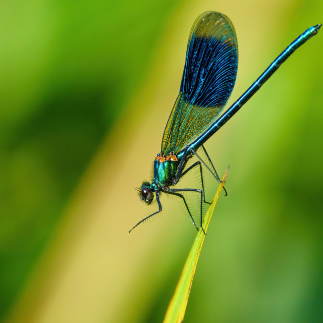 """Banded Demoiselle (Calopteryx splendens) resting on the tip of a leaf, taken..."" stock image"