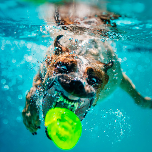 """Dog Underwater"" stock image"