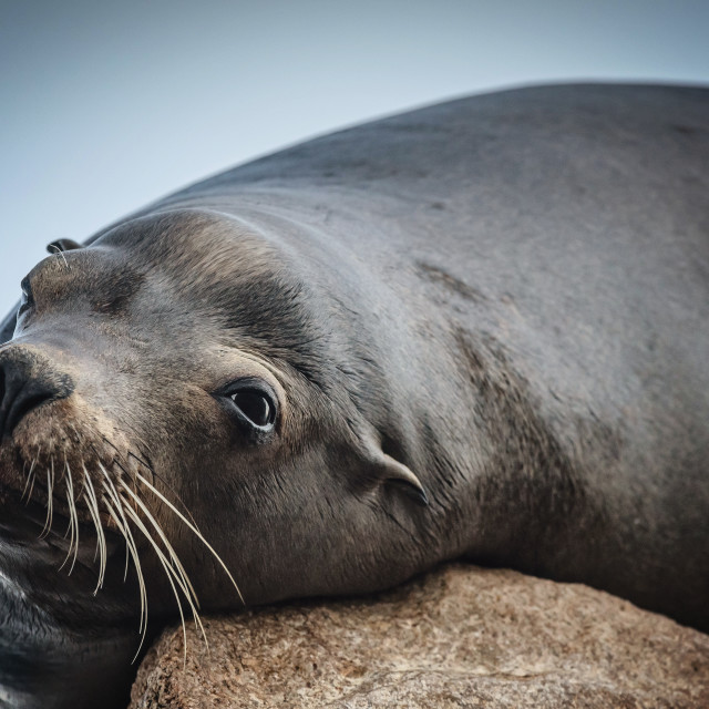 """Sea Lion on Rock"" stock image"