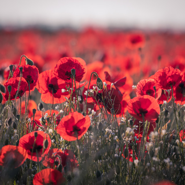 """A Poppy Field in the English springtime"" stock image"