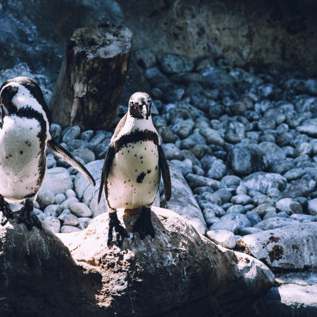 """""""Penguins from Colchester Zoo, UK."""" stock image"""