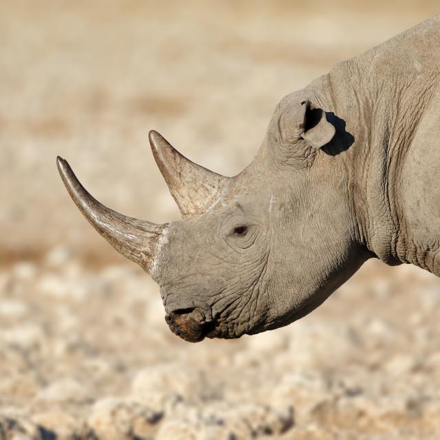 """""""Black rhinoceros portrait - Etosha National Park"""" stock image"""