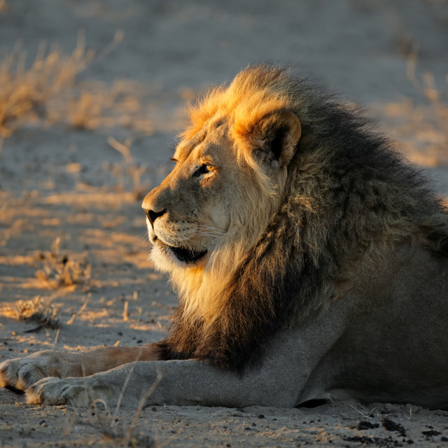 """African lion in early morning light"" stock image"