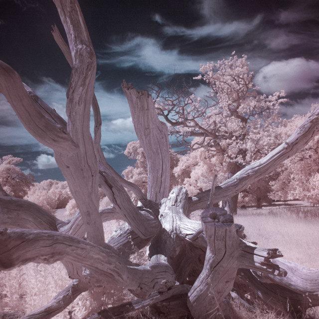 """Infrared Fallen Tree"" stock image"