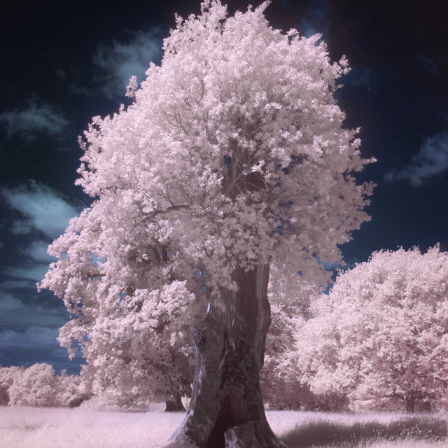 """Infrared Tree"" stock image"