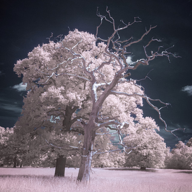 """A Tale of Two Trees in infrared"" stock image"
