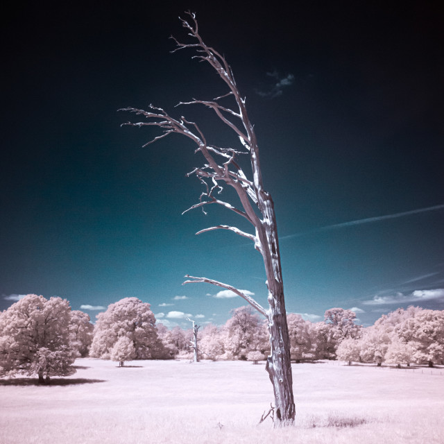 """Lightning struck tree in infrared"" stock image"