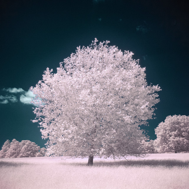 """Glowing Infrared Tree"" stock image"