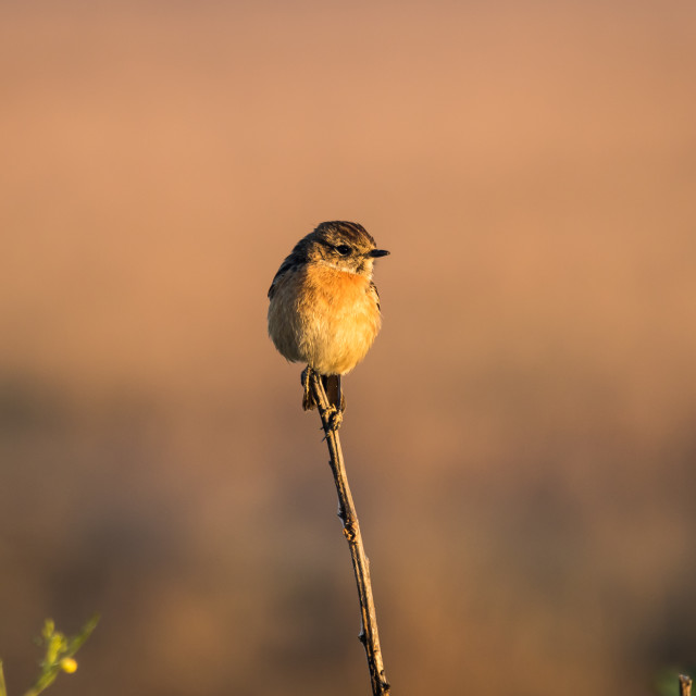 """Female European stonechat balancing on the tip of a reed"" stock image"