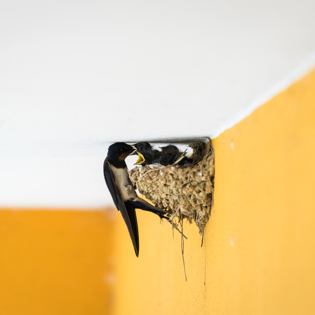 """Adult barn swallow feeding the chicks"" stock image"