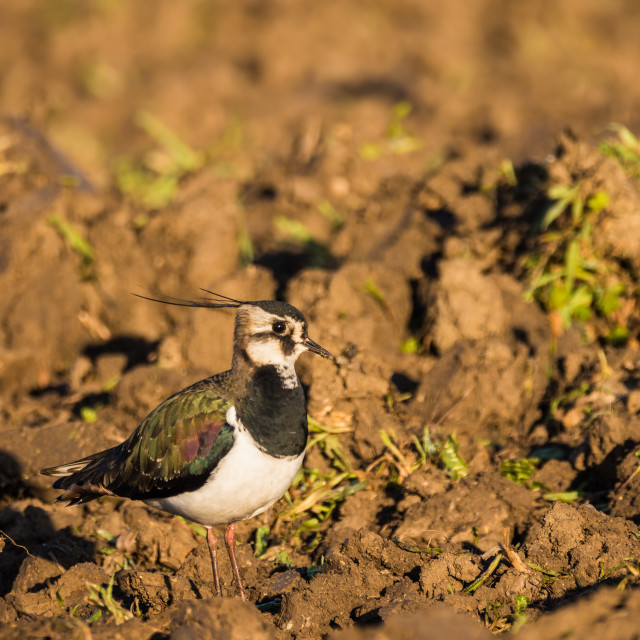"""A Northern lapwing on a field"" stock image"